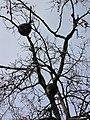 Zoo des 3 vallées - Raton laveur - 2015-01-02 - i3359.jpg