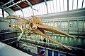 Zoologisches Museum Kiel Pottwal-Skelett.jpg