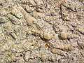 """Turritella Agate"" (fossiliferous lacustrine limestone) (Laney Member, Green River Formation, Middle Eocene; North Barrel Springs Draw, south of Wamsutter, Wyoming, USA) 8 (19849525256).jpg"