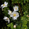 'Anemone hupehensis' Capel Manor Gardens Enfield London England 4.jpg
