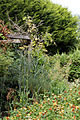 'The Row' Crow St garden and trellis with fennel Foeniculum vulgare Henham Essex England.jpg