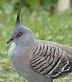 (1)Crested Pigeon-99.jpg