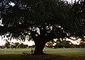 (1)Willow tree Kensington Park-1.jpg