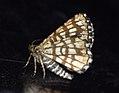 (1894) Latticed Heath (Chiasmia clathrata) (4631556696).jpg