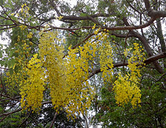 (Cassia fistula) flowers at IG Zoo park 03.jpg