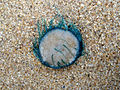 (Porpita porpita) Blue button at Thotlakonda Beach 07.JPG