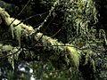 Árboles barbudos, Salto del Laja Región del Bio Bio.JPG