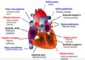 Širdies anatominė sandara.png