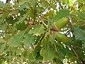 Φύλλα και καρποί από δρυ.jpg