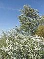 Бяла топола – издънки.jpg