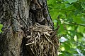 Дрозд-белобровик на гнезде.jpg