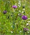 Псоралея смолистая (Смолистый клевер) - Bituminaria bituminosa - Arabian pea (Pitch trefoil) - Asphaltklee (28431289665).jpg
