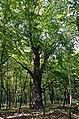 Самбурські дуби, Голосіївський район, кв. 13 виділ 2, 6, 7, 8 002.jpg