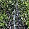 Серая цапля. Ординский район, Пермский край - panoramio.jpg