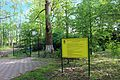 Тюльпанове дерево 12.JPG