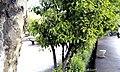 درخت - panoramio (1).jpg
