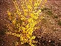 شکوفههای زرد.JPG
