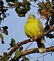 এজনী হাইঠা চৰাইৰ ছবি, Yellow footed green pigeon (cropped).JPG