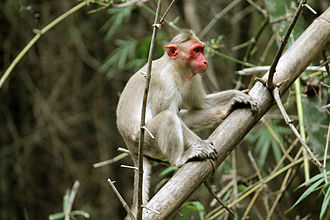 Bonnet macaque - Image: തൊപ്പിക്കുരങ്ങ്