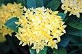 เข็ม ( Ixora chinensis Lamk. Ixora spp. RUBIACEAE (3).jpg
