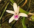 卡特蘭屬 Cattleya lundii Tien Cheng -台南國際蘭展 Taiwan International Orchid Show- (40799686452).jpg