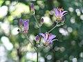 国営アルプスあづみの公園内に咲く野草P8149214.jpg