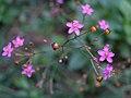 土人參 Talinum patens -香港動植物公園 Hong Kong Botanical Garden- (9198133575).jpg