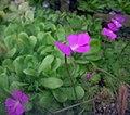 愛蘭捕蟲堇 Pinguicula ehlersiae -上海辰山植物園 Shanghai Chenshan Botanical Garden- (16697121574).jpg