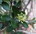 朝鮮黃楊 Buxus microphylla v koreana -韓國晉州城 Jinju, Korea- (13078271513).jpg