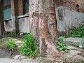 根 Root of China Fir - panoramio.jpg