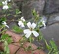 碰碰香 Pelargonium odoratissimum -比利時國家植物園 Belgium National Botanic Garden- (9237372009).jpg