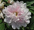 芍藥-砂金冠頂 Paeonia lactiflora 'Gold-Sand Topping' -北京植物園 Beijing Botanical Garden, China- (12380138085).jpg