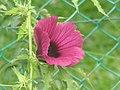 花葵 Lavatera arborea -檳城植物園 Penang Botanic Garden- (9198170713).jpg