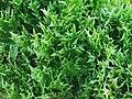 萵苣-綠火焰 Lactuca sativa 20201201130601 01.jpg