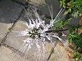 貓鬚草(腎茶) Orthosiphon aristatus (Clerodendranthus spicatus) -香港西貢獅子會自然教育中心 Saikung, Hong Kong- (9240257078).jpg