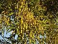 회화나무 열매.JPG