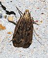 - 1065 – Martyringa latipennis (14161868459).jpg