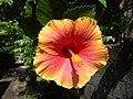01735jfUnidentified Hibiscus cultivars Philippinesfvf 01.JPG