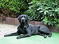 0312 Black Labrador IMG 8845.JPG