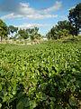 04506jfDomesticated Water Hyacinth Pescadores Poblacion Candaba Pampangafvf 04.JPG