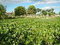 04506jfDomesticated Water Hyacinth Pescadores Poblacion Candaba Pampangafvf 10.JPG