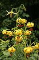 0 Lilium pyrenaicum - Samoëns 2.JPG
