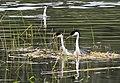 100 - WESTERN GREBE (4-13-10) santa margarita lake, sloco, ca (8721011709).jpg