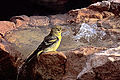 111 Lesser Goldfinch female.jpg