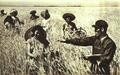 1952-07 河南国营黄泛区农场收割小麦.png
