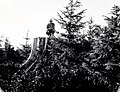 """1956. """"Old"""" and new stand of Sitka spruce. New stand (natural) is about 12 years old and is being studied to determine incidence of damage by Sitka spruce weevil. G.M. Thomas on stump. Tillamook Head, Oregon. (40086935392).jpg"""