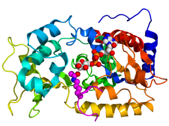 Sirtuin - Crystallographic structure of yeast sir2 (rainbow colored cartoon, N-terminus = blue, C-terminus = red) complexed with ADP (space-filling model, carbon = white, oxygen = red, nitrogen = blue, phosphorus = orange) and a histone H4 peptide (magenta) containing an acylated lysine residue (displayed as spheres).