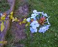 2007-08-05Plumbago auriculata04.jpg