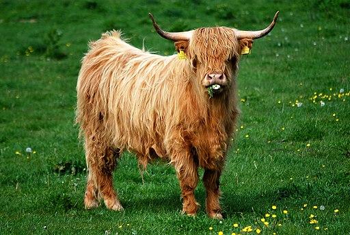 2011-05-30 008 Young Highland bull, Denmark