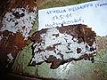 2012-03-08 Athelia neuhoffii (Bresadola in Neuhoff)Donk 203146.jpg